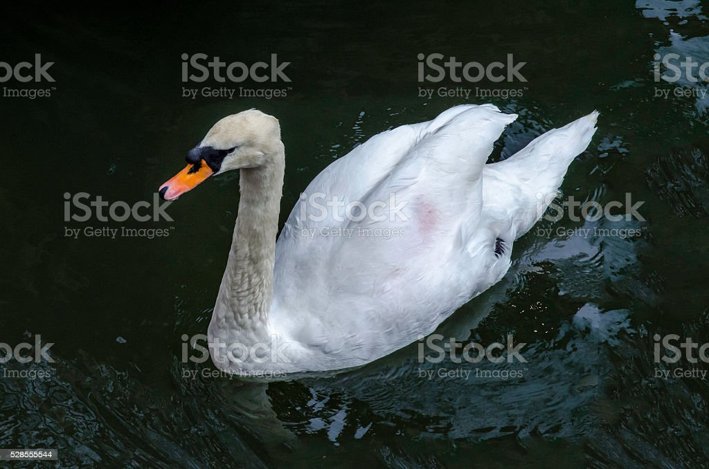 Swan Gliding on Water royalty-free stock photo