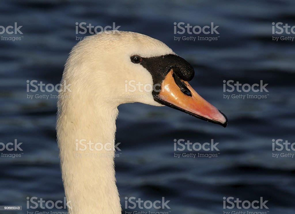 Swan Head royalty-free stock photo