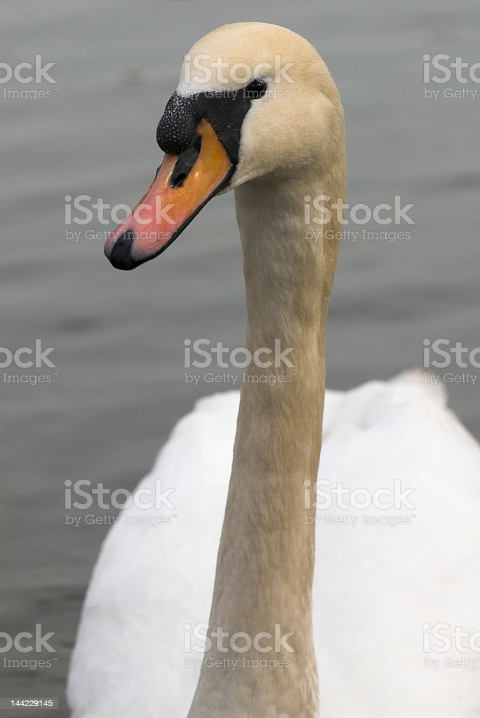 Swan II royalty-free stock photo