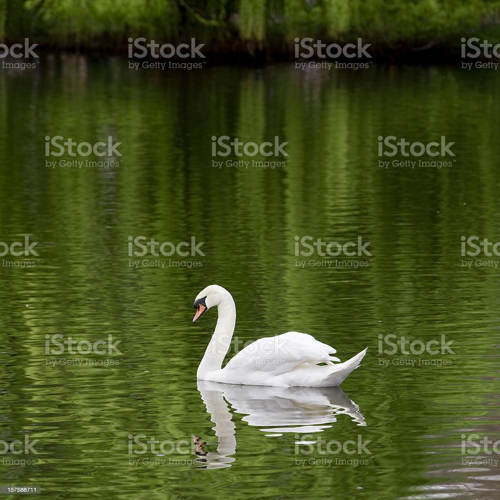 Swan in a lake stock photo