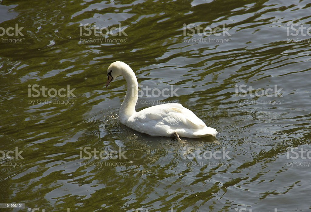 Swan in Bruges royalty-free stock photo