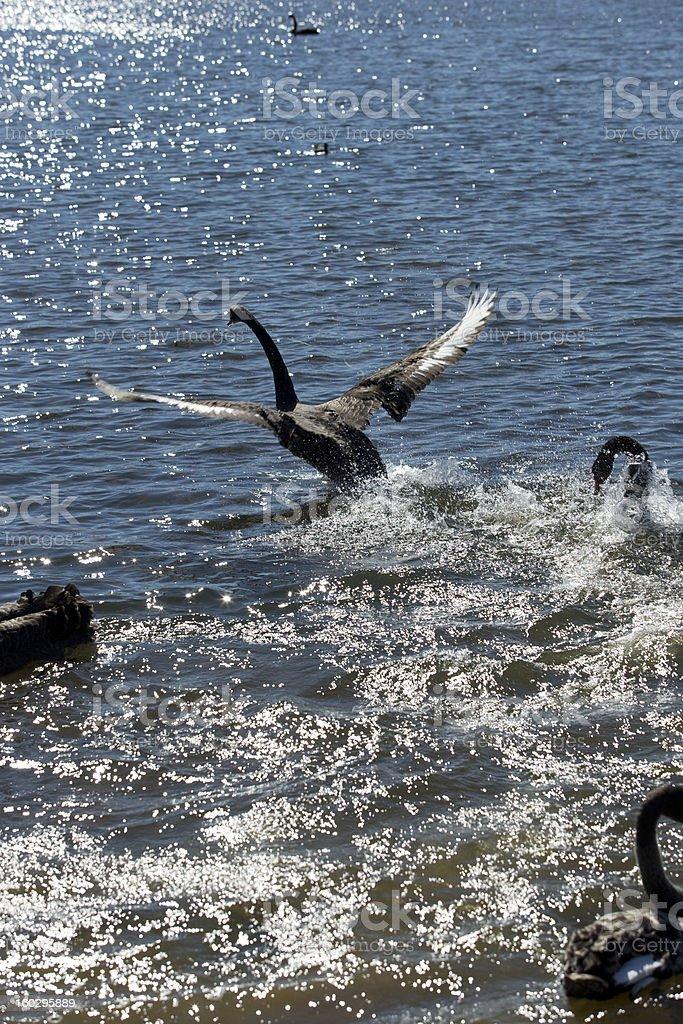 Swan in flight royalty-free stock photo
