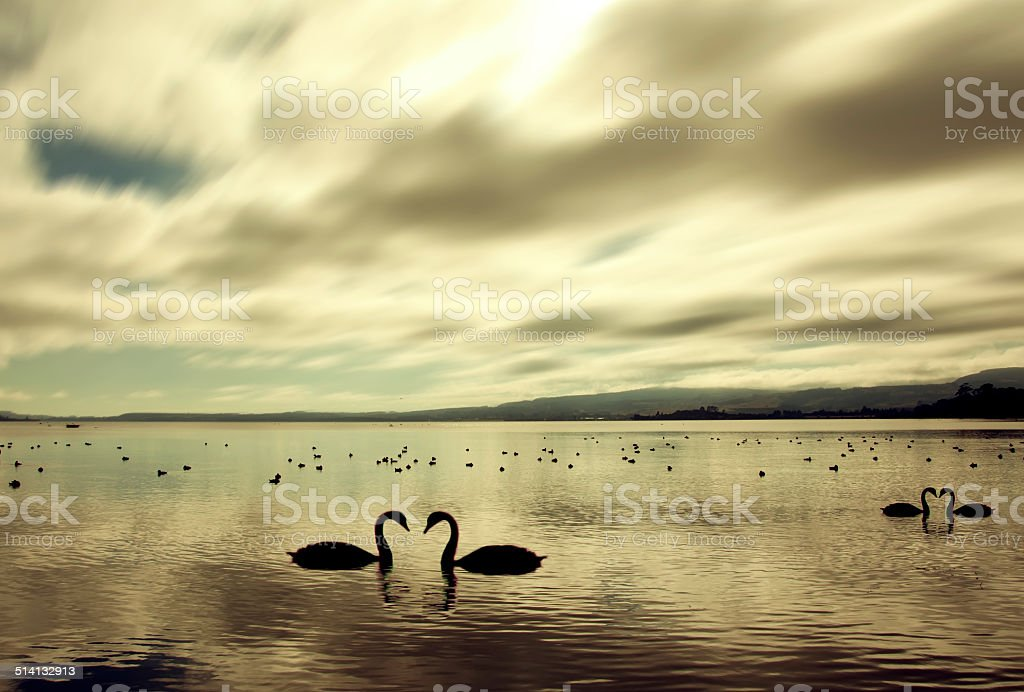 Swan in the beautiful sunset over the lake,New Zealand stock photo