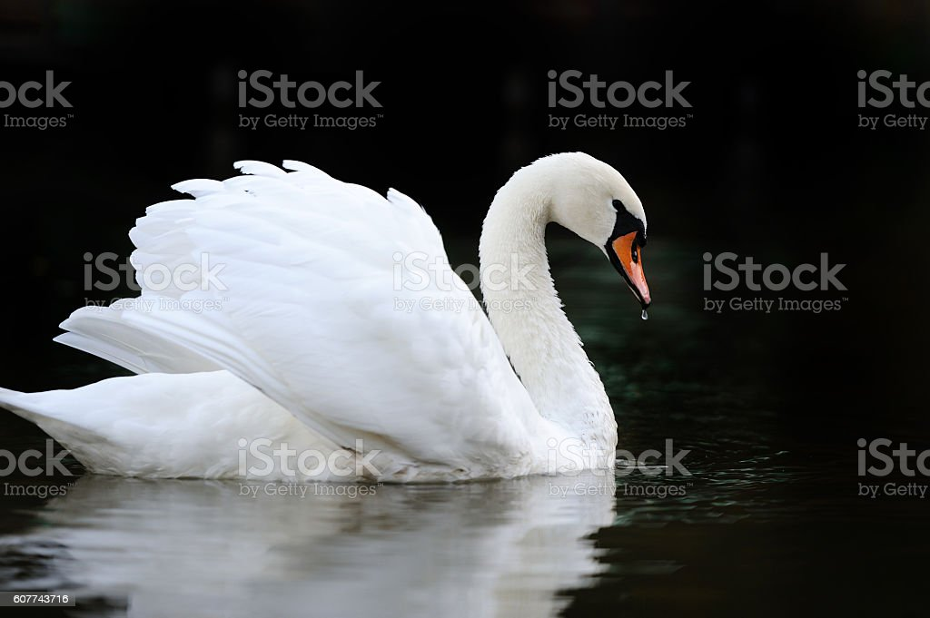 Swan in the lake stock photo