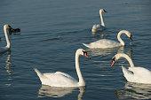 swan in the lake