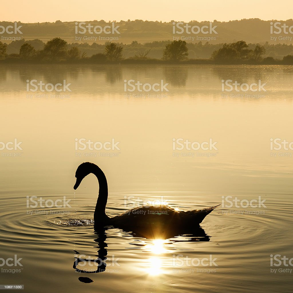 Swan in the sun royalty-free stock photo