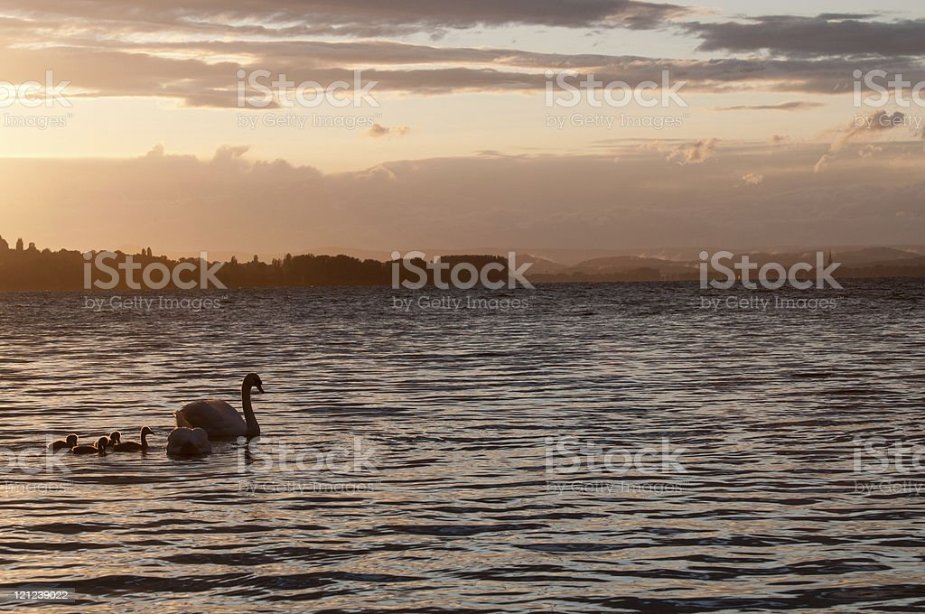 Swan in the sunset royalty-free stock photo