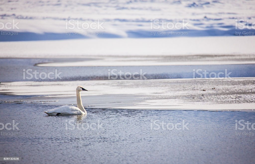 Swan in the Winter stock photo