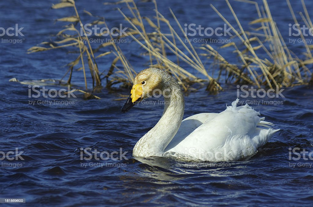 Swan in water royalty-free stock photo