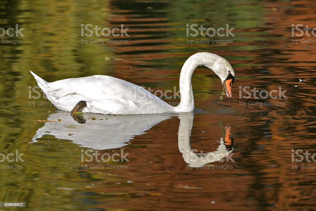 Swan in winter stock photo