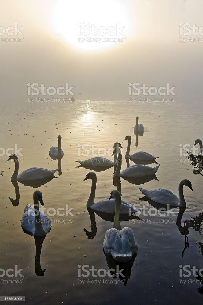 Swan Lake, at dawn royalty-free stock photo