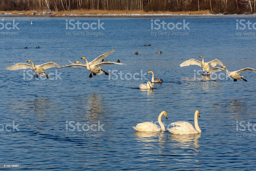 swan lake fight winter birds fly stock photo