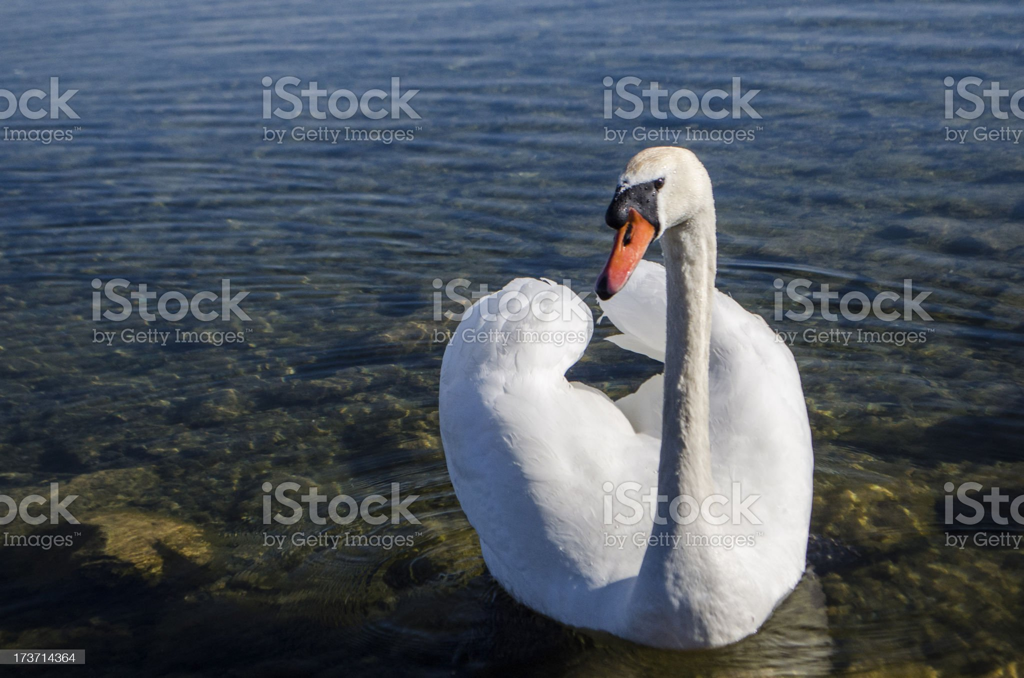swan lake royalty-free stock photo