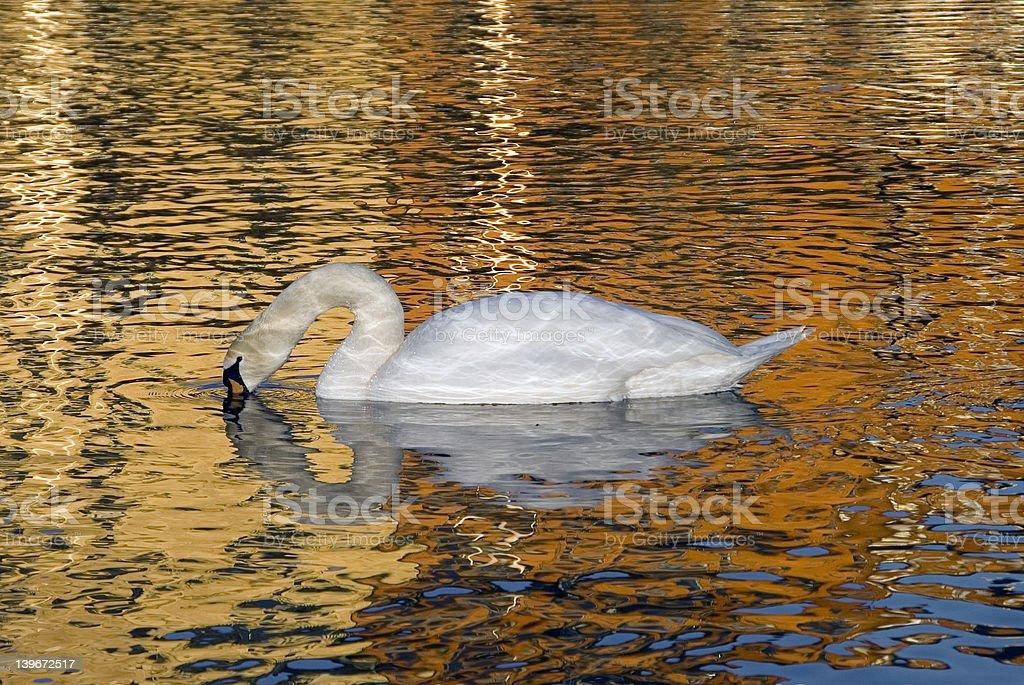 Swan Lake Sweden Stockholm royalty-free stock photo