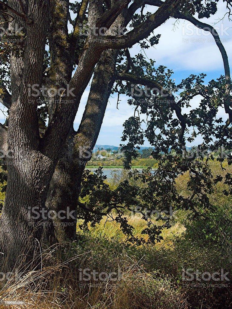Swan Lake Through a Pair of Trees stock photo