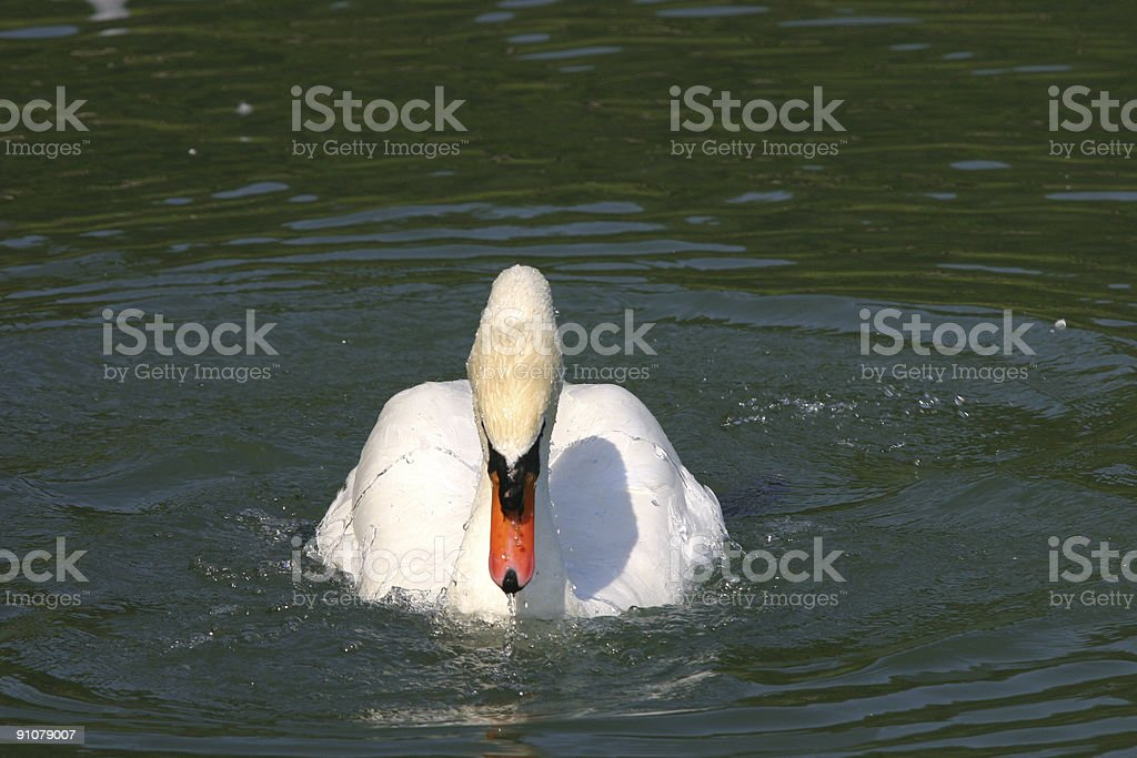Swan looking for Food stock photo
