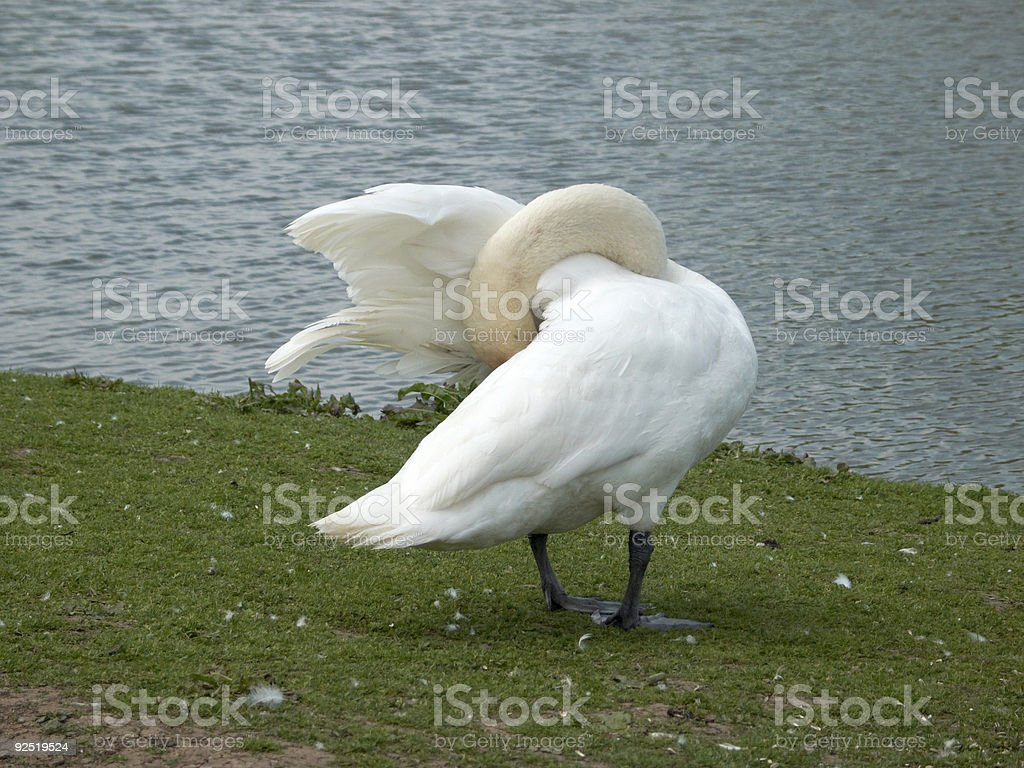 Swan looking for his money royalty-free stock photo
