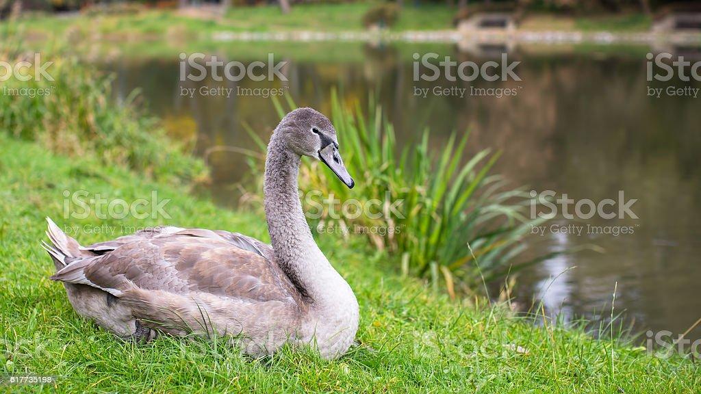 Swan lying near the lake. stock photo