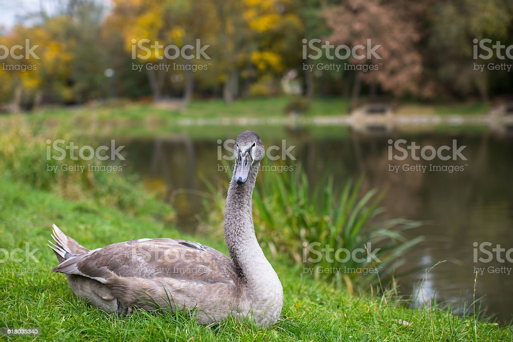 Swan lying on the grass near the lake. stock photo