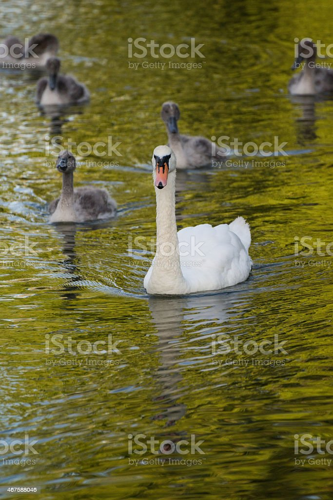 Swan mother and cygnets royalty-free stock photo