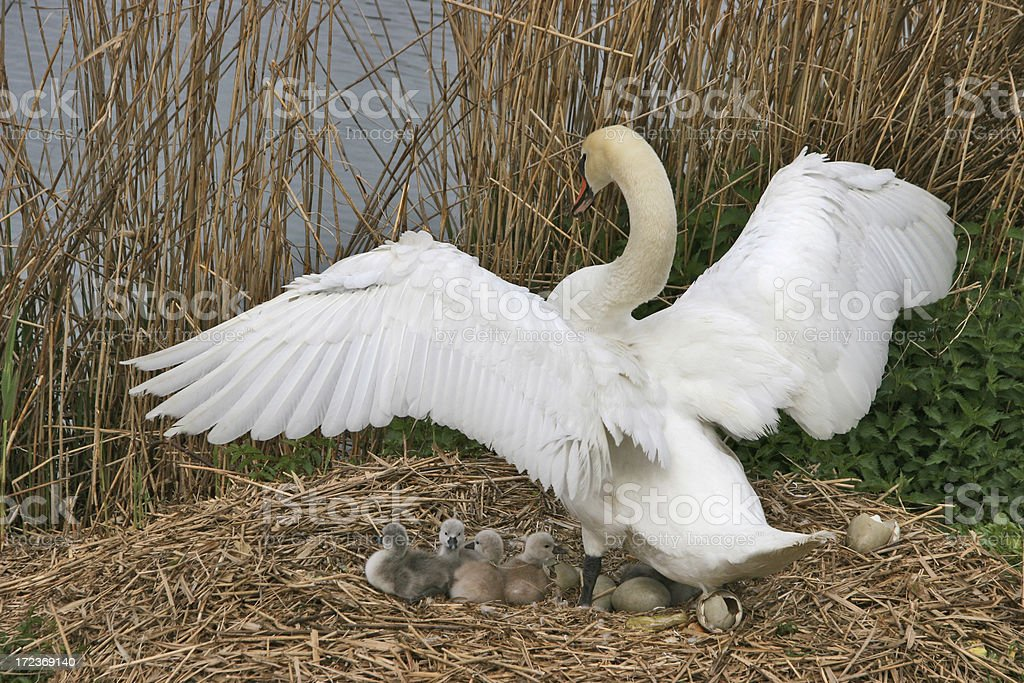 swan mother royalty-free stock photo