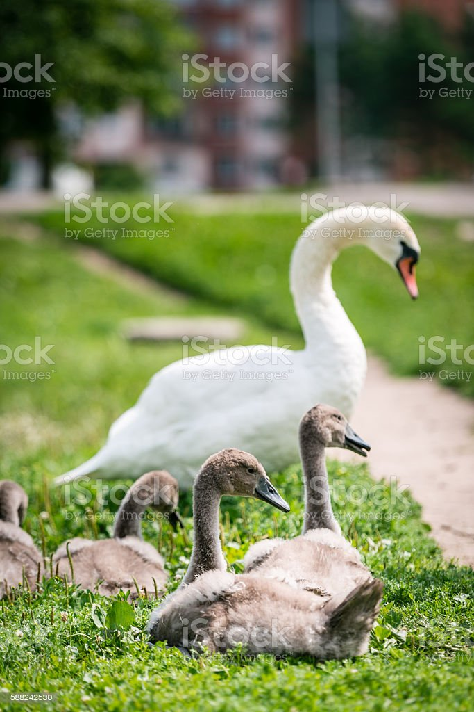 Swan mother with cygnet stock photo
