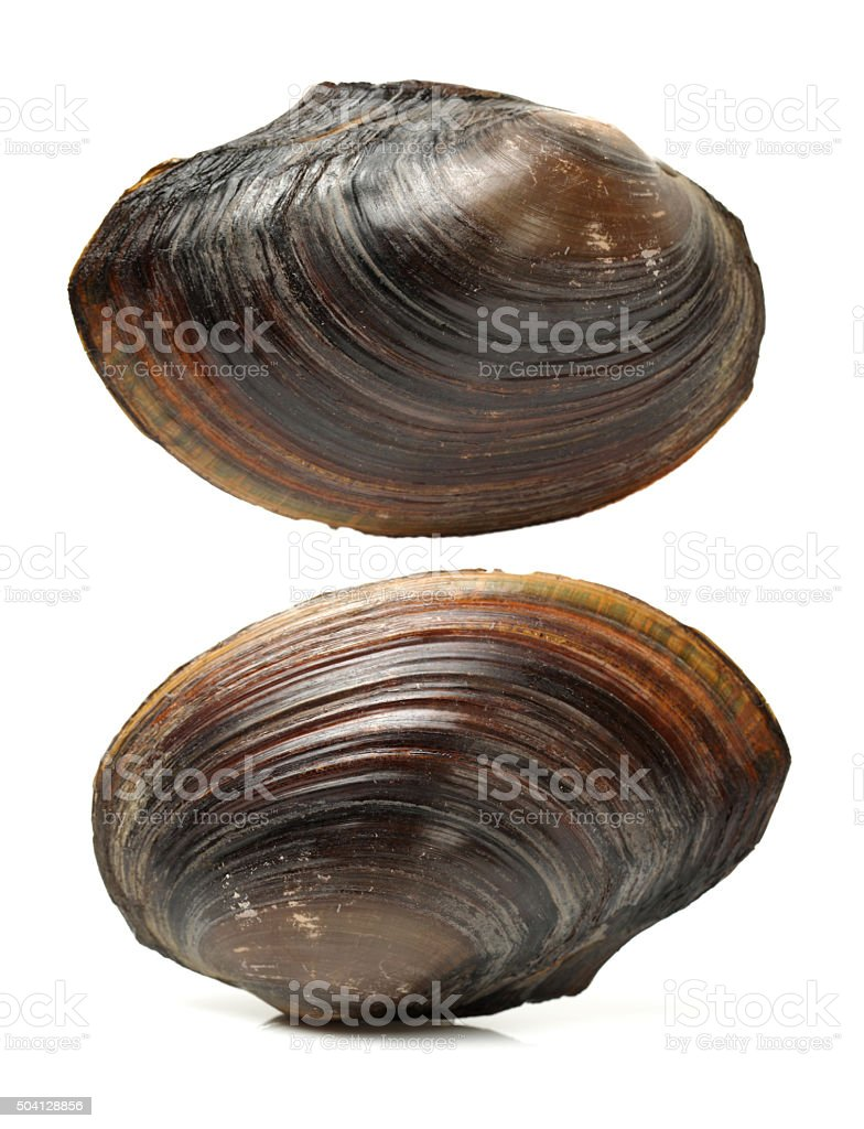 swan mussel stock photo
