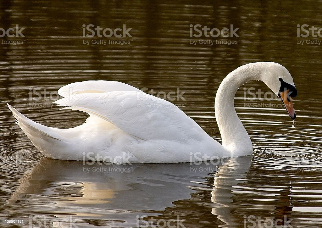 Swan on a Lake early morning stock photo