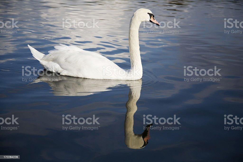 Swan on a Lake royalty-free stock photo