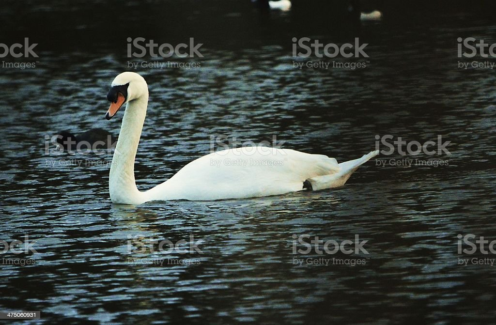 Swan on a lake stock photo