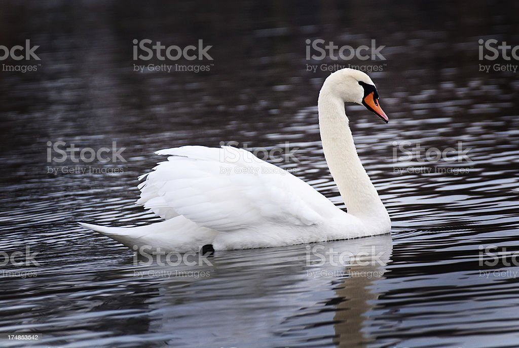 Swan on a Pond royalty-free stock photo