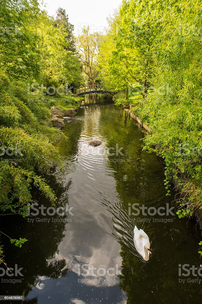 Swan on a river in regents park stock photo