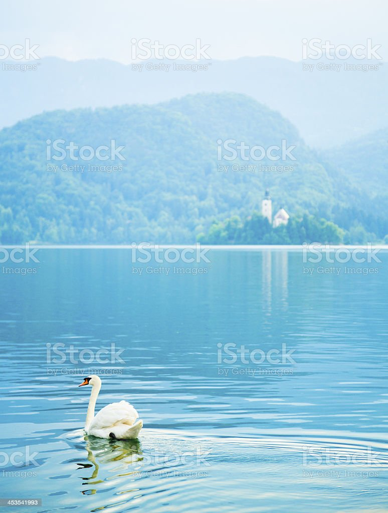 Swan on Bled Lake stock photo