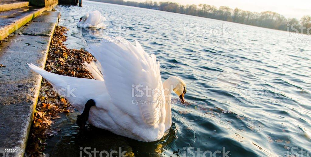 Swan on blue lake stock photo