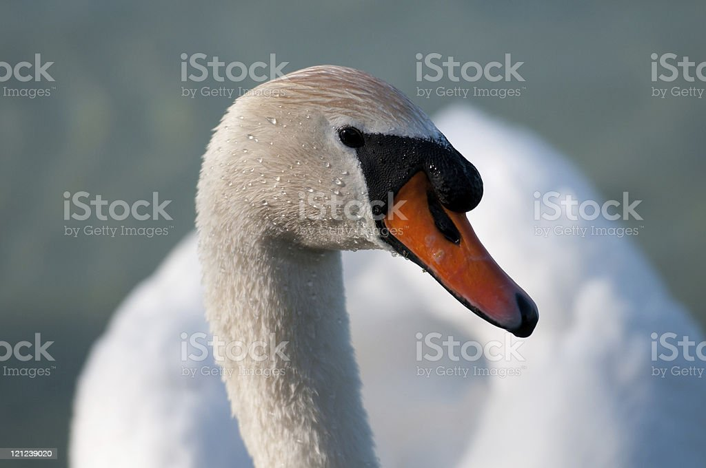 Swan on Lake Constance stock photo