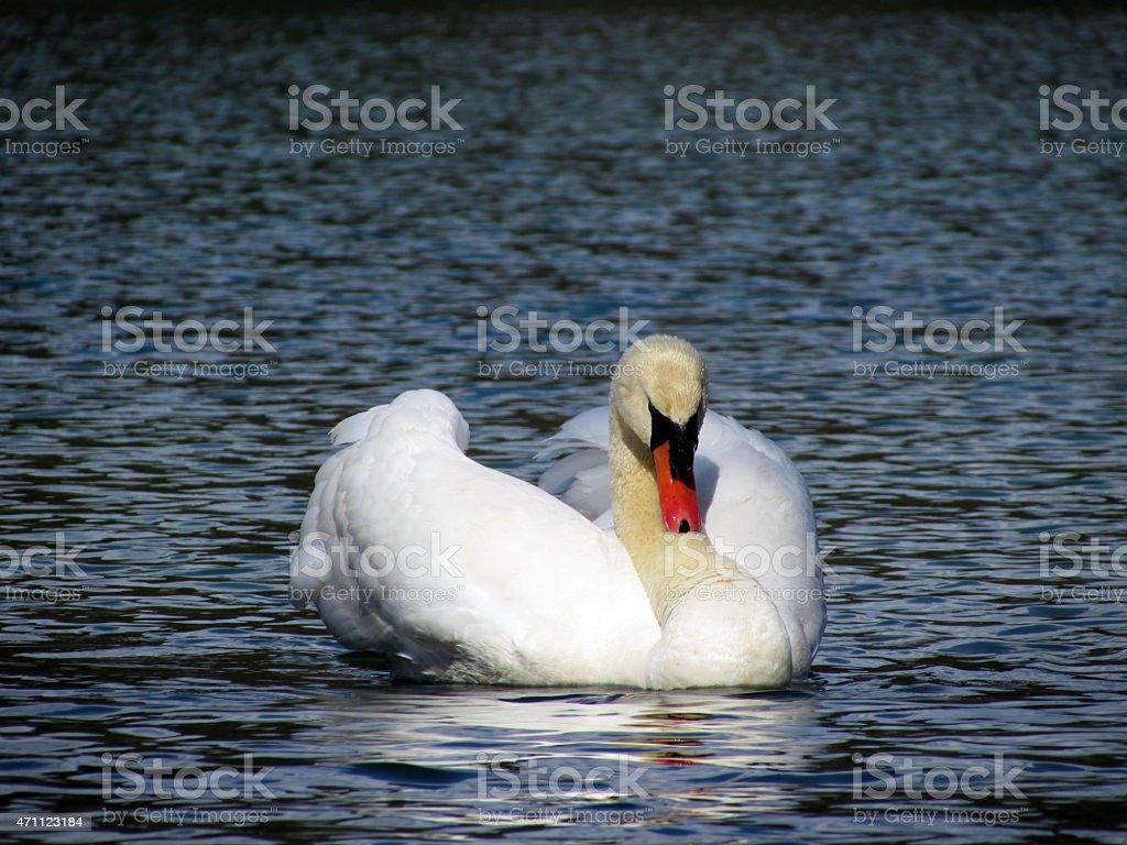 Swan on lake royalty-free stock photo