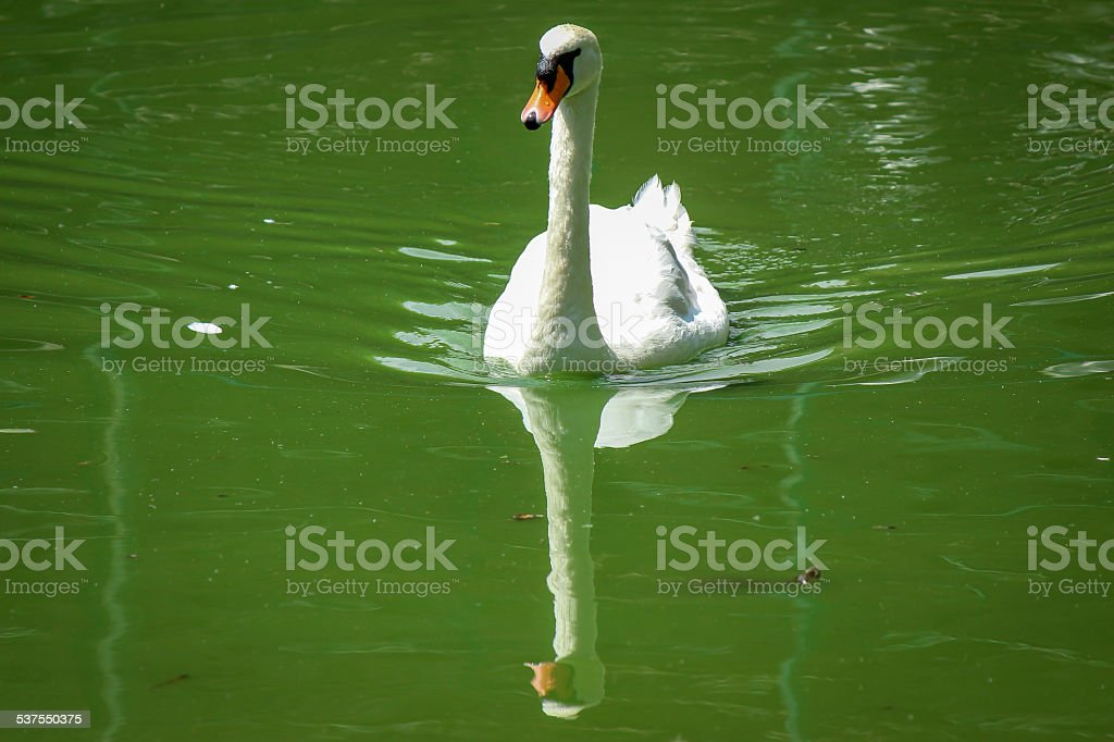 Swan on lake stock photo