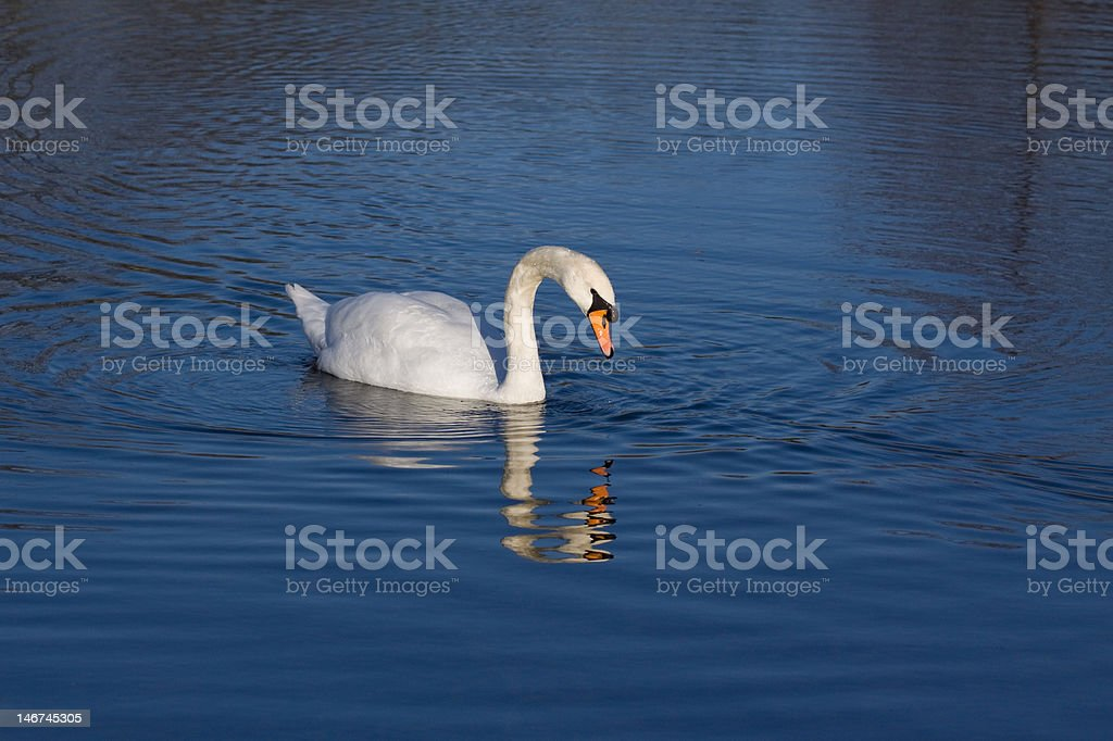 Swan on lake with reflection stock photo