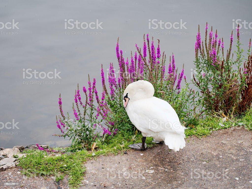 Swan on riverbank in Exeter, Devon with Rosebay Willowherb flowers stock photo