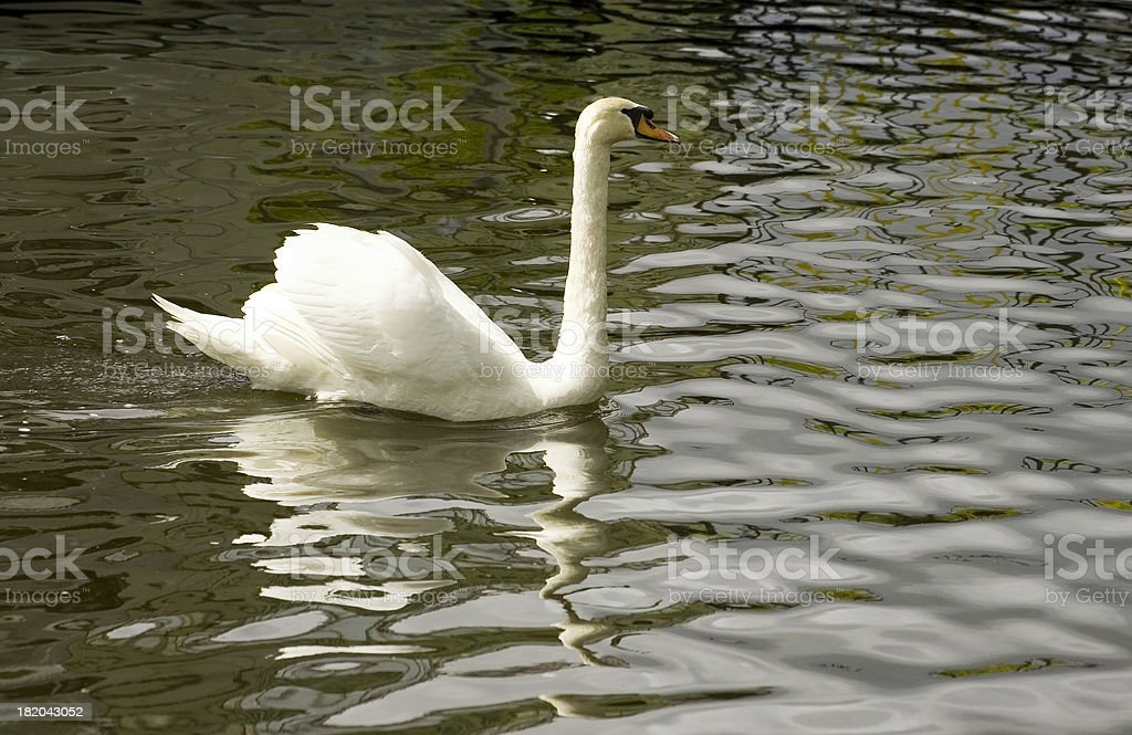 Swan on the Dee royalty-free stock photo