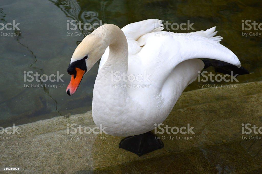 swan en el lago foto de stock libre de derechos