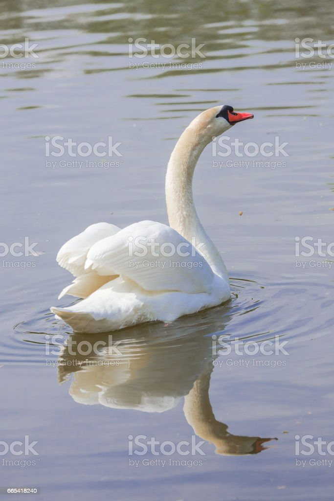 Swan on the lake stock photo