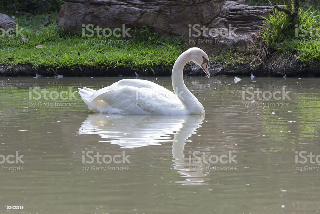 swan on the lake water in park stock photo