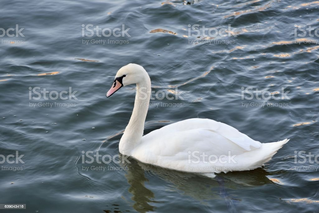 Swan on the river stock photo