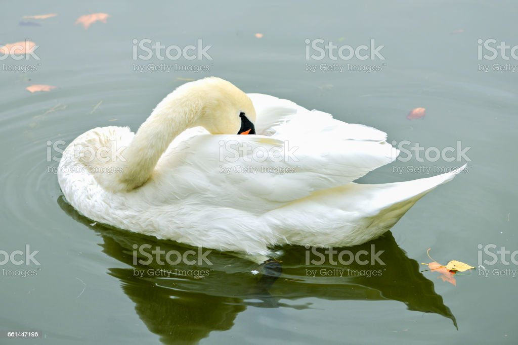 Swan on the water stock photo