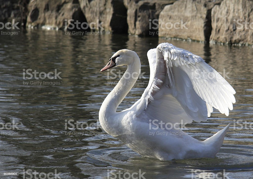 Swan Opening Wings royalty-free stock photo