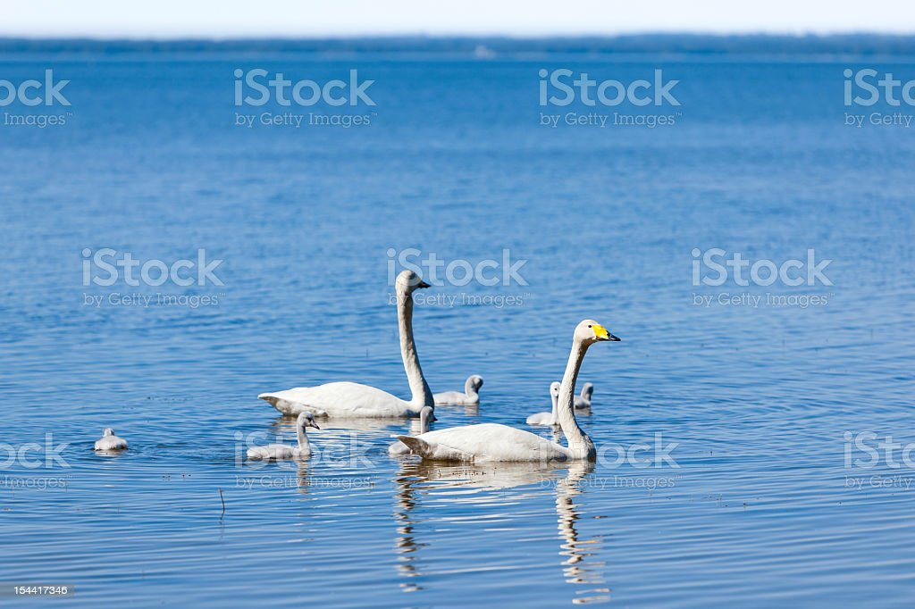Swan parent watching over her family royalty-free stock photo