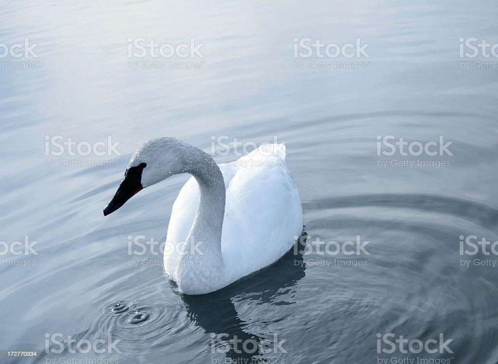 swan royalty-free stock photo