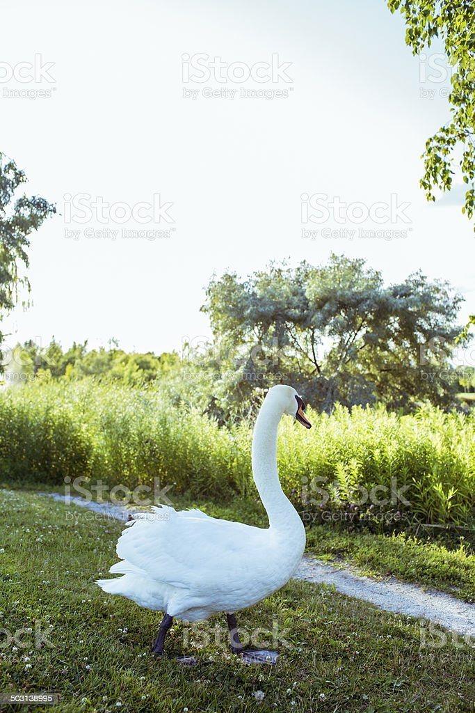 Swan royalty-free stock photo