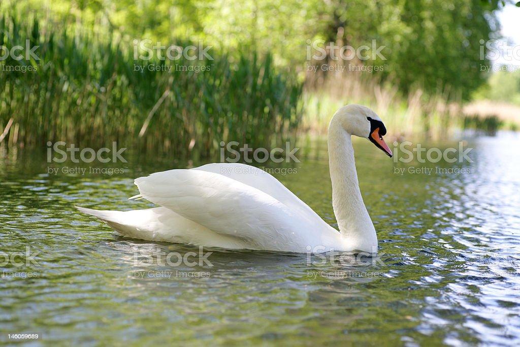 Swan Pond stock photo